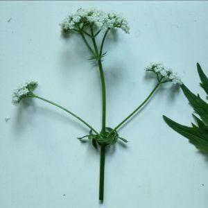 En vit blomma till vänster och ett grönt blad till höger.