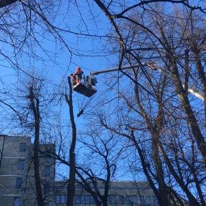 Två personer sågar ner en lind i Esplanadparken.