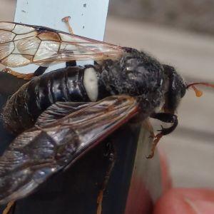 En insekt med vingar sittande på ett måttband.