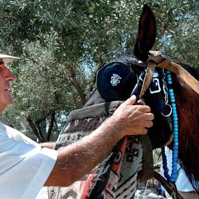 Hevosta viilennetään helteessä