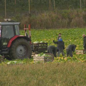 Folk jobbar på en åker bakom en traktor.