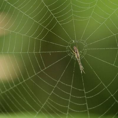 Hämähäkki verkossaan.