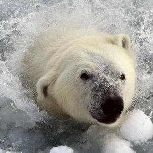 Ranuan eläinpuiston jääkarhu Sisu.
