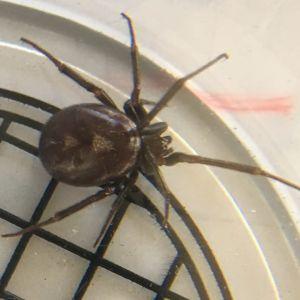 En mörkbrun spindel i en glasskål.