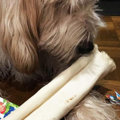 Koira haistelee joululahjaksi saamaansa puruluuta.