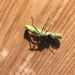Christel såg detta kryp bärande på en larv större än den själv. Vad är det?
