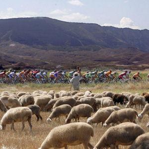 Pyöräilijäjoukko ohittaa lammaslauman, paimen vilkuttaa.