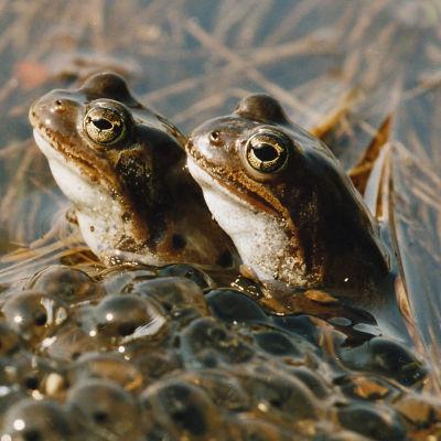 Två grodor i vatten bredvid rom.