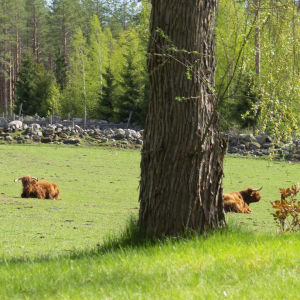 Ylämaankarja lepäilee aurinkoisella laitumella