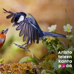 Kaksi värikästä pikkulintua näyttää taistelevan kukkien koristamalla mättäällä.