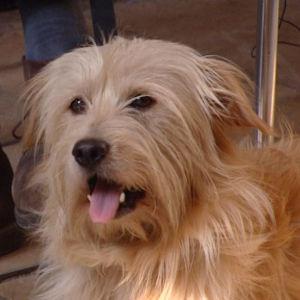 Vaalea, pieni (terrierin sukuinen?) koira katselee suu auki, kieli ulkona.