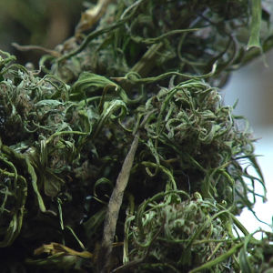 Cannabis i Toronto.