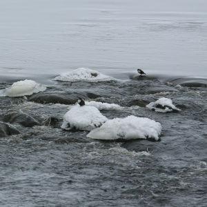 Koskikaroja talvipurolla.