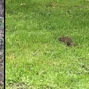Bilden till vänster visar ett hål i gräsmatta framför fot, bilden till höger en mus med stora öron.