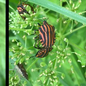 Två bilder på insekter.
