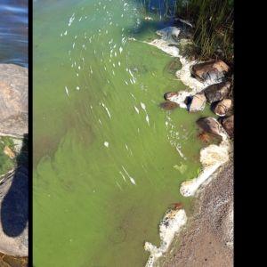 Två bilder på gröna samlingar av vad som troligen är alger vid stranden.