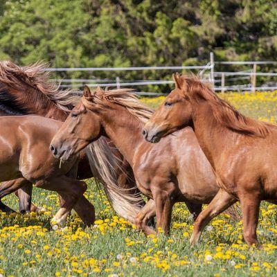 Hevoset laukkaa kameran ohi.