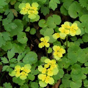 Kevätlinnunsilmän kukka