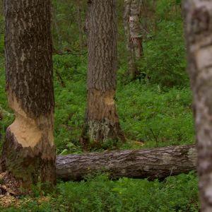 Bävrar är skickliga på att fälla träd.