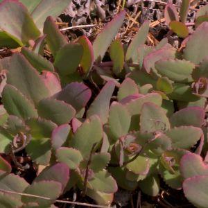 Fetbladsväxter med fjärilsägg på.