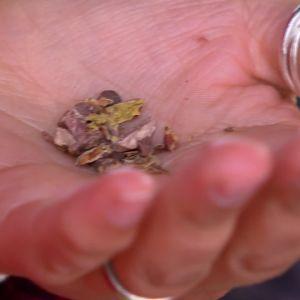 Frön i Alexandras hand.