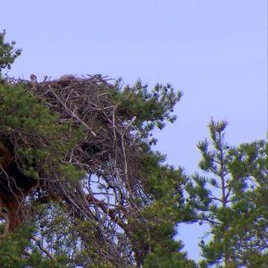 Fågelbo i trädtopp.