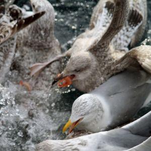 Måsar slåss om småräkor som sköljs bort från räktrålaren Marinas däck på Lyngenfjorden i Norge