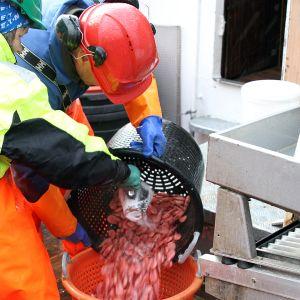 Nykokta räkor saltas på trålaren Marinas däck på Lyngenfjorden i Norge