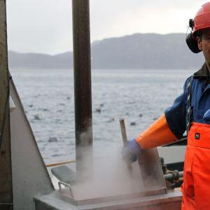 Räkor kokas på räktrålaren Marina på Lyngenfjorden