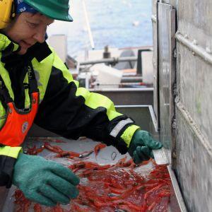 Arbete på räktrålaren Marina på Lyngenfjorden