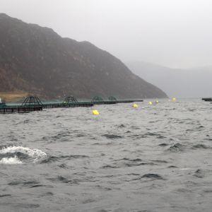 Laxodling i vattnen kring Skjervøy i Nordnorge