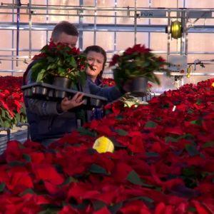 Owe och Camilla väljer julstjärnor.