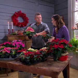 Owe och Camilla planterar om julstjärnor.