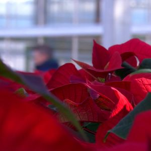 Ett växthus med julstjärnor.