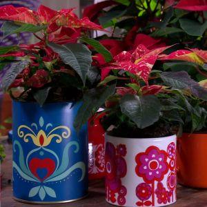 Camillas omplanterade julstjärnor.
