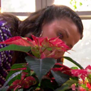 Camilla planterar om julstjärnor.