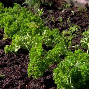 Persiljan växer i Bahnes trädgård i Pargas.