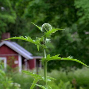 Även tisteln är en fin trädgårdsväxt.