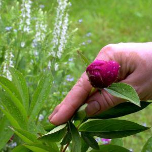 Pioner görs sig i varje trädgård.