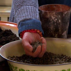 Lekagrus gi botten gör att växterna i drunknar vid vattning