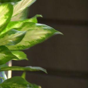 Prickbladet renar luften, men är ganska giftig