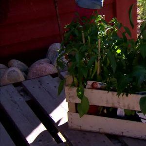 Camilla och owe bär in tomat- och chiliplantor