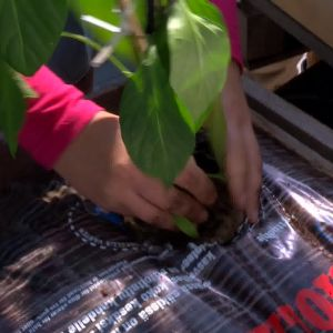 Camilla planterar paprika i växtsäcken