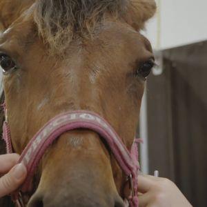 Ruskea hevonen lähikuvassa