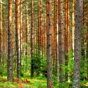 Kuvassa metsä.