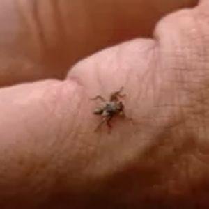 Hirvikärpänen ihmisen kädellä