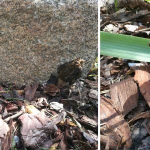 Två bilder på svamp som vuxit upp i rabatt.