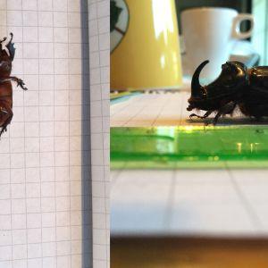 Två bilder på svart skalbagge