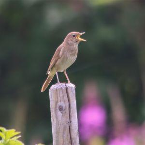 En fågel med öppen näbb sittande på en stolpe