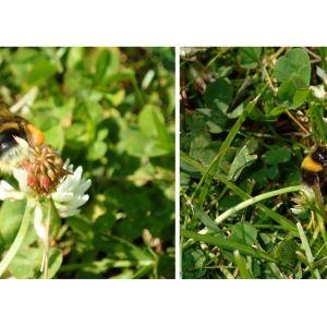 Två bilder på humla med gula bollar fästa vid benen